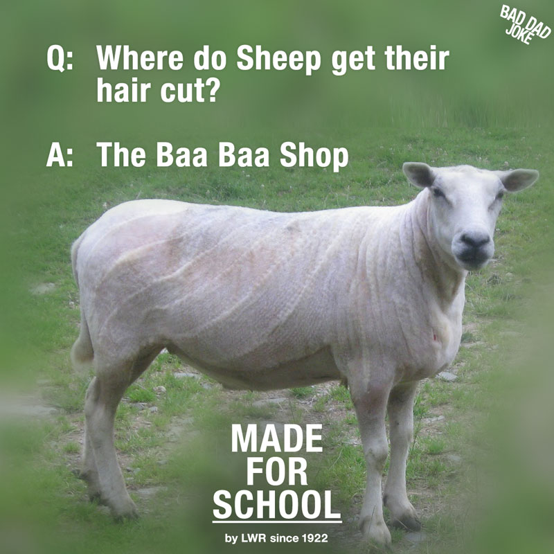 Poor Shorn Sheep
